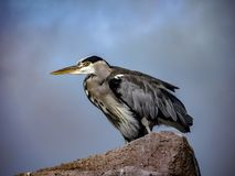 Great Blue Heron Ardea herodias with Winded Feathers over a Bl Stock Image