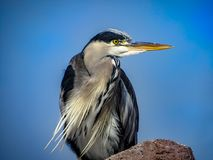 Great Blue Heron Ardea herodias with Winded Feathers over a Bl Royalty Free Stock Photography