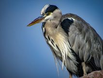 Great Blue Heron Ardea herodias with Winded Feathers over a Bl Royalty Free Stock Images