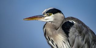 Great Blue Heron Ardea herodias with Winded Feathers over a Bl Royalty Free Stock Image
