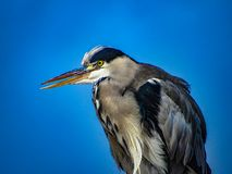 Great Blue Heron Ardea herodias with Winded Feathers over a Bl Stock Images