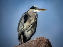 Great Blue Heron Ardea herodias with Winded Feathers over a Bl Stock Photography