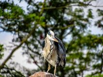 Great Blue Heron Ardea herodias with Winded Feathers over Tree Stock Photo