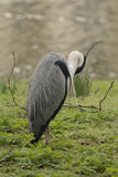 Great Blue Heron asleep. In front of the Boating Lake in Regent's Park, London, UK Stock Photography