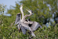 Great Blue Heron With Babies Stock Image