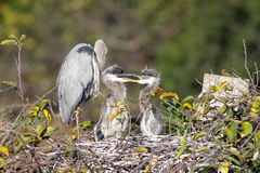 Great Blue Heron With Babies Royalty Free Stock Photos