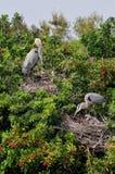 Great Blue Heron babies stock image