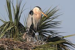 Great Blue Heron With Babies Stock Photos