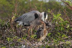 Great Blue Heron With Babies Royalty Free Stock Images