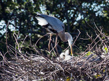 Great Blue Heron with Babies in Nest Stock Image