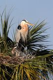 Great Blue Heron With Babies in a Tree Royalty Free Stock Photos