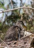 Great blue heron baby Stock Images