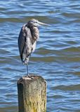 Great Blue Heron Balancing on One Leg. On a piling in North Beach, Maryland USA, after folding up the other leg, and retracting his long neck stock photos