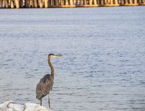 Great Blue Heron on the Bank of Choctawhatchee Bay in Ft. Walton Beach, Florida Royalty Free Stock Photography