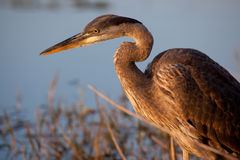 Great blue heron bathed in golden light Stock Photo