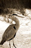 Great Blue Heron on beach Stock Image