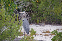 Great Blue Heron on the Beach Royalty Free Stock Photos
