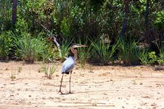 Great Blue Heron on Beach. Great Blue Heron strolling along sandy beach with green trees in background stock photo