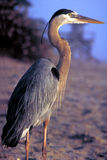 Great Blue Heron on Beach. Royalty Free Stock Photo