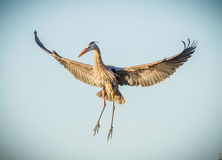 Great Blue heron begins a landing with wings wide Stock Photo