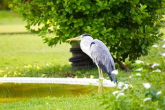 Great Blue heron bird Stock Photo