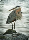 Great Blue Heron bird. Perched on rock with water in background Stock Image