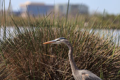 Great blue heron bird Stock Photo