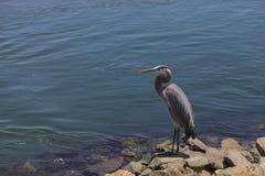 Great blue heron bird Stock Image