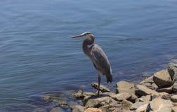 Great blue heron bird Stock Photos