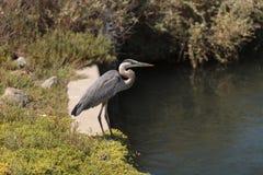 Great blue heron bird Stock Photography