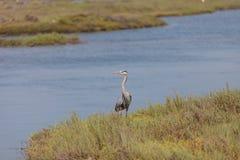 Great blue heron bird Royalty Free Stock Photos