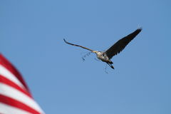 Nesting Great Blue Heron In Flight Stock Photos