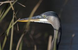 Great Blue Heron Georgia stock photography
