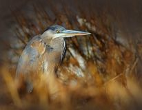 Great Blue Heron Bird Hiding in the Grass Stock Photography