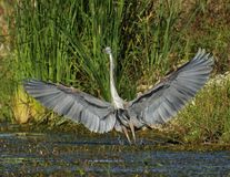 Great Blue Heron. This bird just landed with wings all spread out in the morning sun at goose pond royalty free stock image