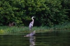 Great Blue Heron bird  on log at the lake Royalty Free Stock Photo