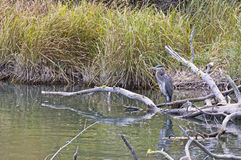 Great Blue Heron Bird On Logs In River Royalty Free Stock Image