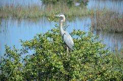 Great Blue Heron bird Stock Images