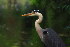 Great Blue Heron bird. A bird stand in front of the river Royalty Free Stock Photography