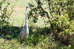 Great Blue Heron Bird standing between the trees Stock Images