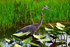 Great Blue Heron bird. Stock Photography