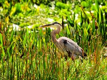 Great blue heron bird in wetland Stock Photography