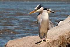 Great Blue Heron and Black-capped Night-heron. On boulders along the River Royalty Free Stock Image