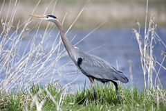 Great blue heron blending Stock Photos