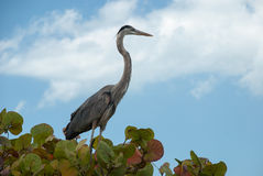 Great Blue Heron on blue sky background, Florida, USA. Beautiful Great Blue Heron sitting on a tree  branch, Florida, USA Stock Image