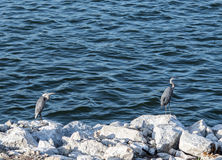 Great blue heron & blue  water Stock Photos