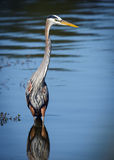 Great Blue Heron In Blue Water Reflection Stock Photo