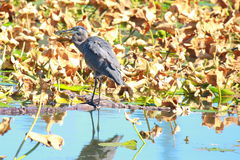 Great blue heron with bluegill. This great blue heron has just speared a bluegill for dinner Stock Image