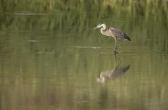 Great Blue Heron at Bosque del Apache, NM Royalty Free Stock Images