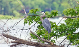 Great Blue Heron on a branch Stock Photo